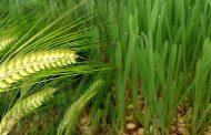 डा. कर्मचंद के अनुसार पीला रतुआ रोग से सुरक्षित है क्षेत्र की गेहूँ की फसल.