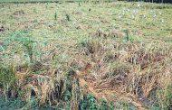 वर्षा ने गर्मी से दी लोगों को राहत, लेकिन धान की फसल हुई चौपट