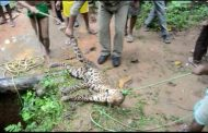 कुएं में गिरकर तेंदुए की मौत