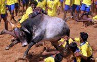 जलीकट्टू को वैध करार देने पर तमिलनाडु को नोटिस