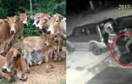 VIDEO : पालघर जिले में गाय चुराने वाला गिरोह सक्रीय , गाय चुराते हुए CCTV में कैद हुई करतूत
