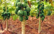 पपीते की खेती किसानों के लिए हो सकती है लाभकारी