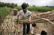 75 चीनी मिलों में गन्ना पेराई शुरू, अब तक 5.22 लाख टन चीनी का उत्पादन