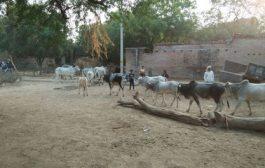 बुन्देलखण्ड में फसलों की तबाही का कारण बन रहे अन्ना पशु