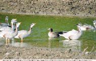 सात समंदर पार से बीकानेर पहुंच रहे हैं जलीय पक्षी