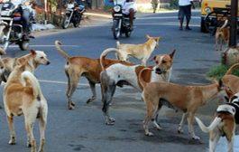 पालघर जिला : हफ्ते भर में 72 लोगों को आवारा कुत्तों ने काटा, 1300 कुत्तों की नसबंदी पर 19 लाख खर्च