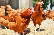पालघर जिला : मुर्गी के लिए गला दबाकर पडोसी ने पडोसी को उतारा मौत के घाट !