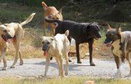 कुत्तों का आतंक, 24 घंटे में 150 बने शिकार