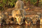 गुजरात के गिर वन में 11 दिन में 11 शेरों  की मौत , राज्य सरकार ने दिए ......