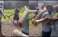 पालघर जिला : स्कूल बैग तले दबे बच्चों से शिक्षको ने उठवाया भारी भरकम लकडिया