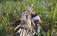 एक लाख 31 हजार गन्ना मजदूरों को मिली मूल गांव लौटने की अनुमति