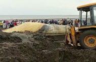 महाराष्ट्र - अरब समुद्र तट पर मिली विशालकाय व्हेल मछली, देखने के लिए उमड़ी भीड़